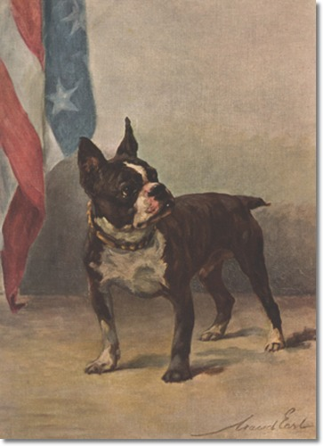 Boston terrier by Maud Earl