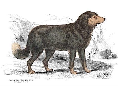 newfoundland dog  Charles-Hamilton SMITH  1776-1859